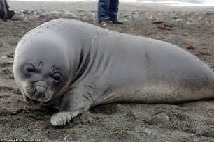 baby seal pup elephant seal pup weighing 200lb comes up for a cuddle