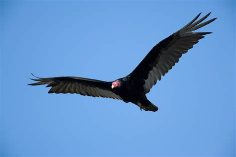missouri s vultures missouri department of conservation