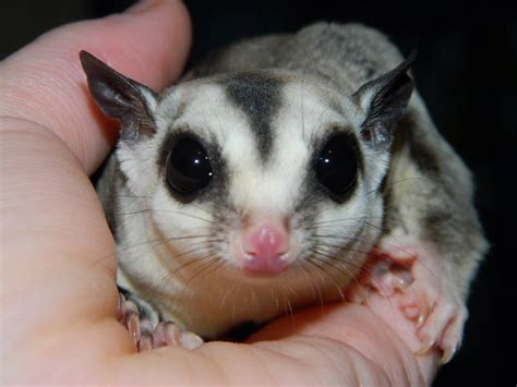 sugar glider as pets petdom