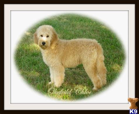 golden cocker retriever grown for sale goldendoodle katy perry buzz newhairstylesformen2014