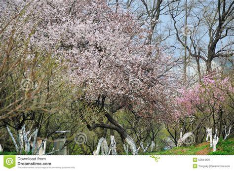 Backyard Smells Like by Flowers Of Apricot Tree Stock Photo Image 52844127