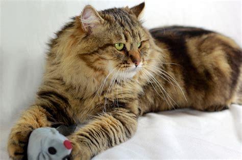 Damman Amur   élevage de chats sibériens en France
