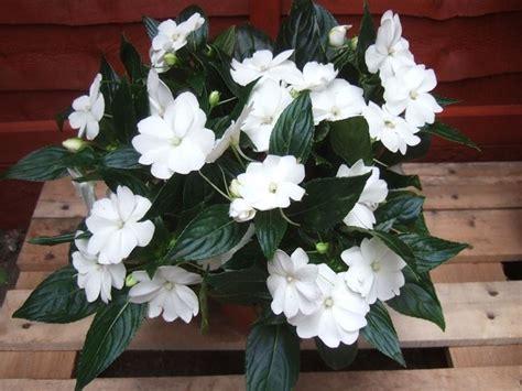 impatiens nuova guinea vaso impatiens nuova guinea fiori in giardino coltivare
