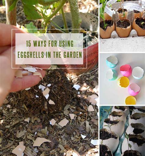 Eggshells In Garden by 15 Ways For Using Eggshells In The Garden Gardenoid