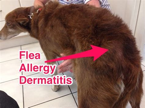 puppy dermatitis you don t need to see fleas to a flea problem companion animal veterinary hospital