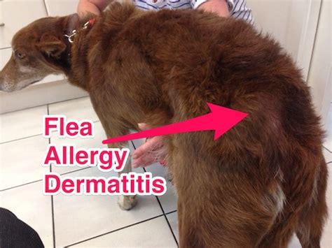 flea dermatitis dogs you don t need to see fleas to a flea problem companion animal veterinary hospital