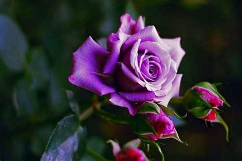 Pupuk Yang Bagus Untuk Bunga Mawar 6 langkah cara menanam bunga mawar mudah praktis