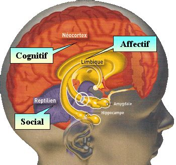 si鑒e des ノmotions dans le cerveau neurosciences quel 226 ge 224 votre cerveau 233 motionnel
