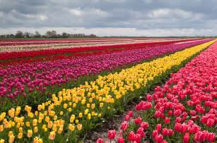 tulip fields tulips field flower flowers wallpaper 3900x2585 428132 wallpaperup