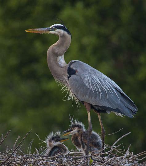 Wakodahatchee Wetlands Blue Heron