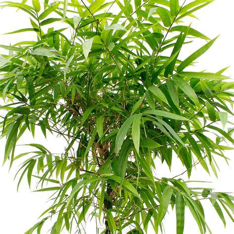 bambus krankheiten bambus pflege