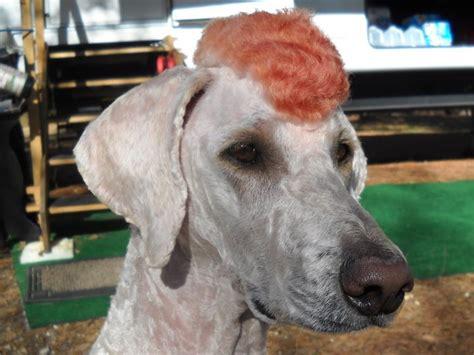 1000 images about doggy doos on pinterest poodles shih 1000 images about poodle doos on pinterest poodles dog