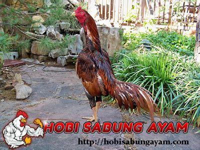 Membuat Nafas Panjang Nafas Ayam | tips membuat nafas panjang ayam aduan saat berlaga hobi
