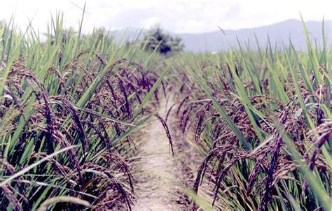 Alaya Merah popularising nutritious black rice in india rayalaseema360