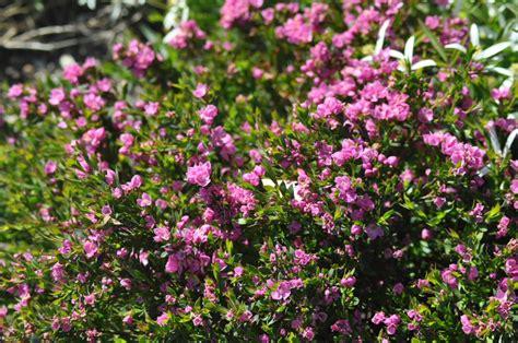 australian shrubs gardening with angus - Australian Flowering Shrubs