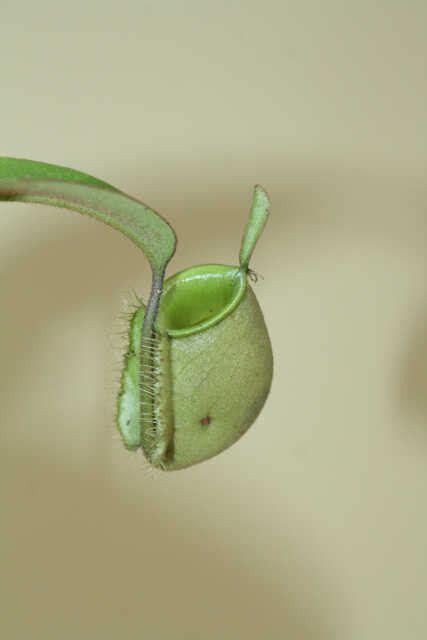 Jual Alat Hidroponik Pontianak jual tanaman nepenthes ullaria hijau bibitbunga