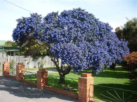 alberi colorati da giardino ceanothus tree search flowers and