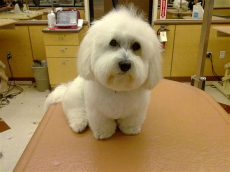 pictures of hairstyles for maltese dogs 9 best images about charlie on pinterest maltese haircut