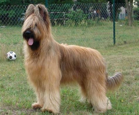 Berger Brown brown briard in park desicomments