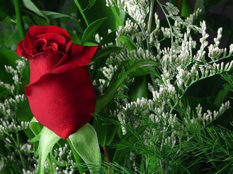 gambar gambar bunga mawar  indah gambar foto wallpaper