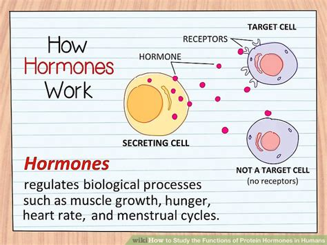 a protein that acts as a hormone is how to study the functions of protein hormones in humans