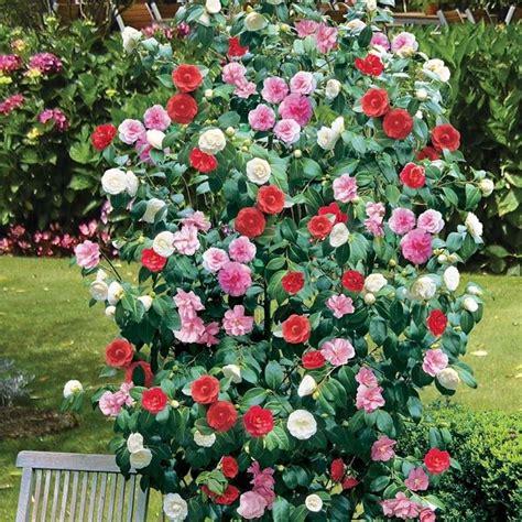 camellia flowering shrub camelia coltivazione piante da giardino coltivazione