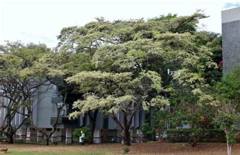 Tropical Tree Plants - dalbergia nigra useful tropical plants
