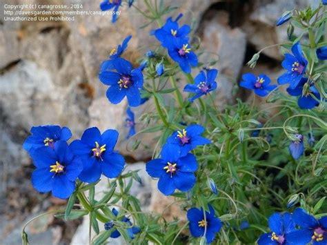 small blue l shade blue flowered perennials krepim club