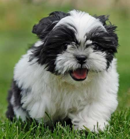 shih tzu pupies dogs pets shih tzu pictures shih tzu dogs and puppies