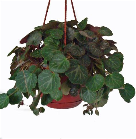 hanging house plants 17 best images about hanging houseplants on pinterest maidenhair fern wandering jew