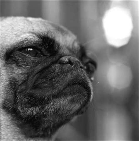 pug squishy pug photos pictures pugs page 15