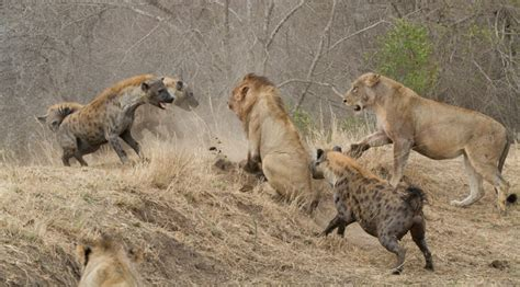 hyena vs vs hyena war www pixshark images galleries with a bite
