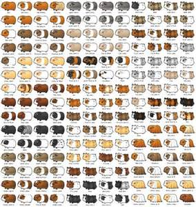 guinea pig colors many guinea pigs by aaarrrgggmonster on deviantart