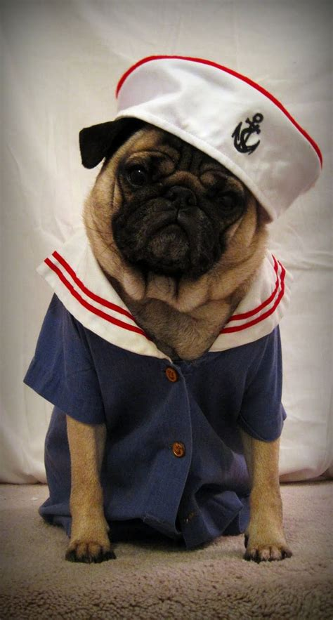 pug costume for 17 best ideas about pugs in costume on pug