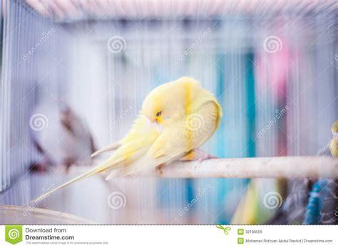 canarino in gabbia canarino in gabbia immagine stock immagine di piume