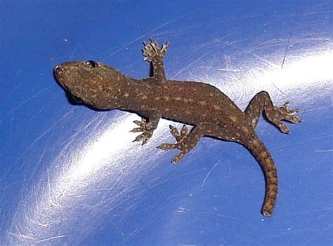 buy house gecko cambodian gecko find market in malaysia sophirom
