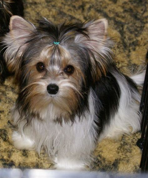 biewer vs yorkie 1000 ideas about silky terrier on australian shepherds yorkie and