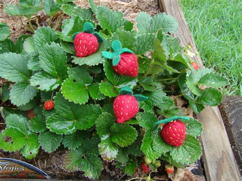 Strawberry Plant Strawberry Rarenriquez17