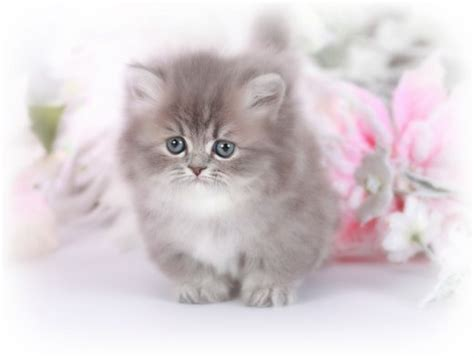 rug hugger kittens for sale chinchilla blue golden teacup rug hugger kitten for