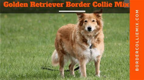 golden retriever border collie mix puppies border collie mix list of cross breeds