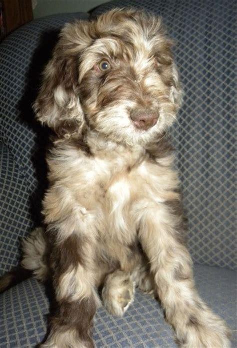 standard aussiedoodle puppies for sale 4girlsleft 137 409x600 jpg