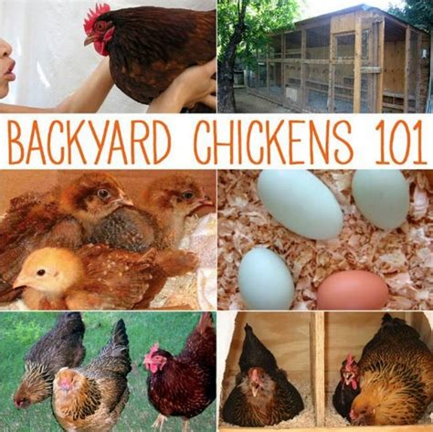 Backyard Chickens 101 Backyard Chickens 101 Outdoor Goods