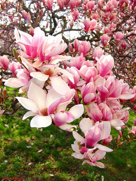 pink magnolia tree 1000 ideas about magnolias on magnolia flower magnolia trees and irises