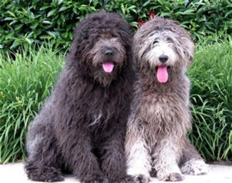 bergamasco puppies bergamasco sheepdog bergamasco shepherd info puppies temperament pictures