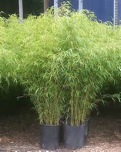 bamboo plants for sale nj bamboo landscaping