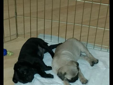 pug puppies for sale island ny pug puppies for sale akc marketplace
