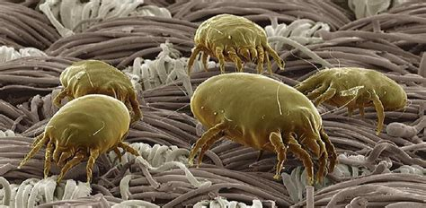 How To Get Rid Of Dust Mites In Your Mattress by How To Get Rid Of Dust Mites