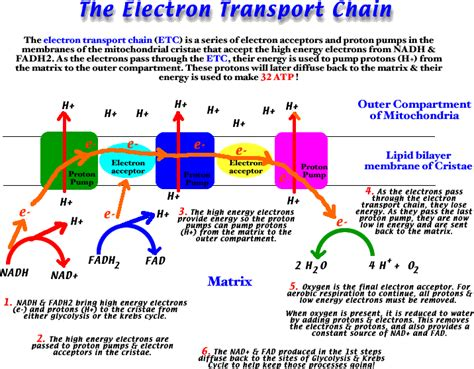 diagram and explain electron transport chemiosmosis