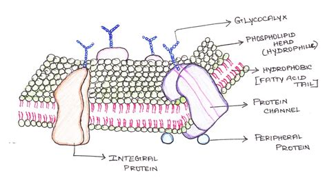 carbohydrates on cell membranes help cells biotechjam a gentle introduction to cell biology