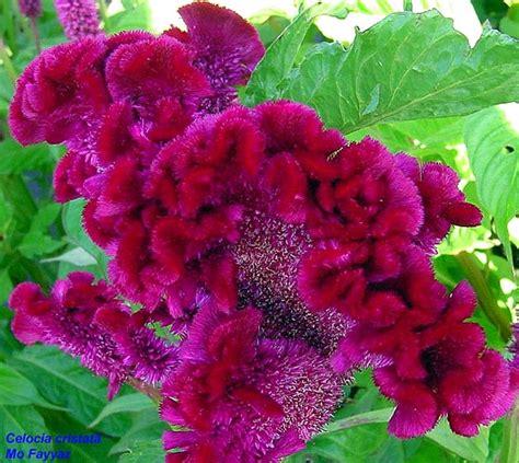 fiori creste di gallo celosia cristata cresta di gallo